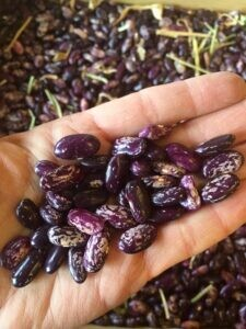 Bush Bean – Kebarika
