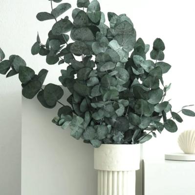 Eukalyptus grosser Bund «konserviert»