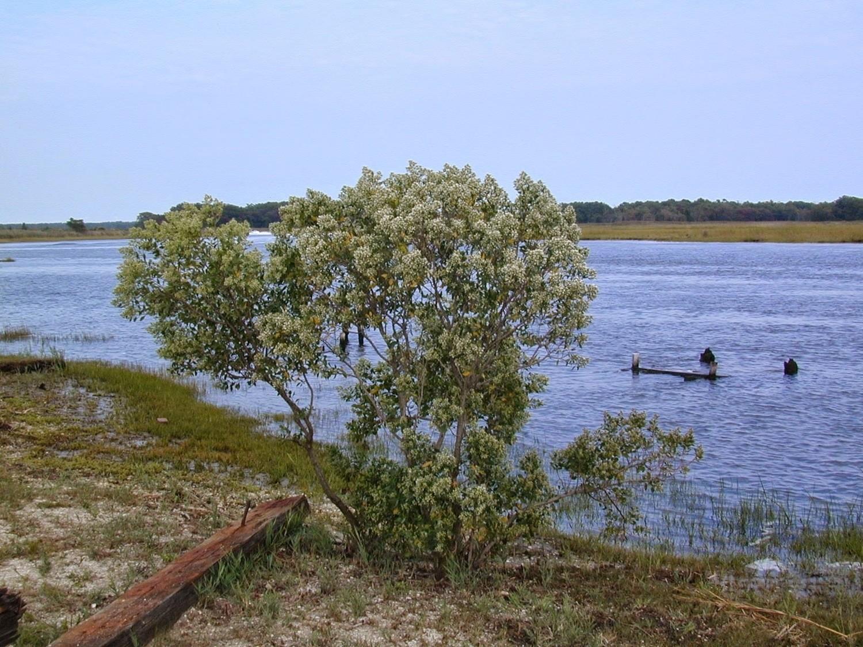 Sea Myrtle