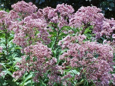 Purple Joe-Pye (Eupatorium purpureum)