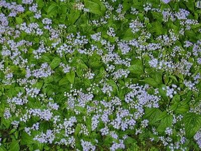 Blue Mistflower (Eupatorium coelestinum)