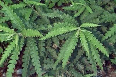 Sweetfern (Comptonia peregrina)