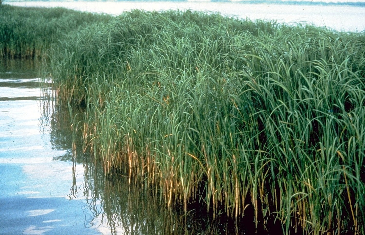 Smooth Cordgrass (Spartina alterniflora)