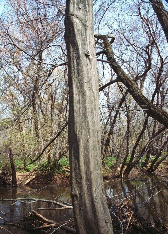 Ironwood (Carpinus caroliniana)