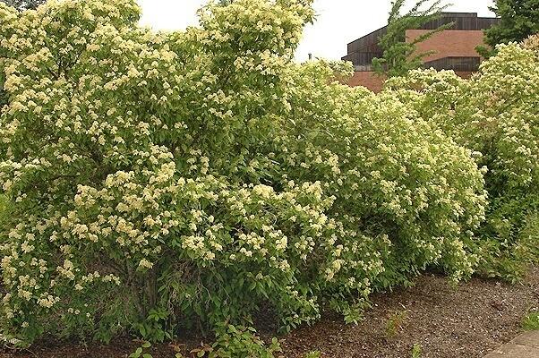 Grey Dogwood (Cornus racemosa)