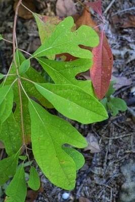 Sassafras (Sassafras albidium)