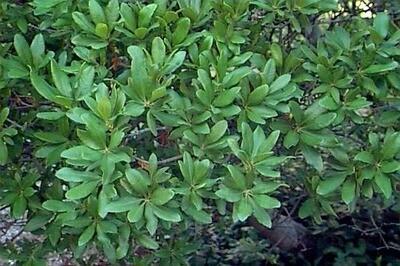 Northern Bayberry (Morella pensylvanica)