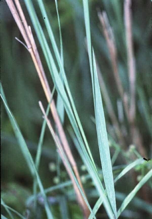 Bluejoint Grass (Calmagrostis canadensis)