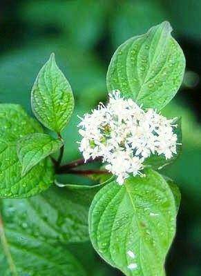 Red-Twig Dogwood (Cornus sericea)