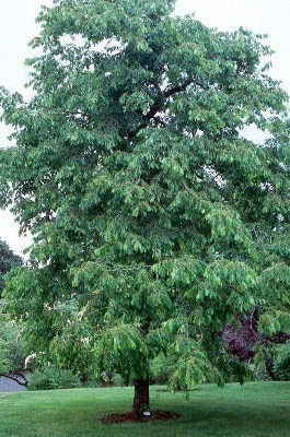 Common Persimmon (Diospyros virginiana)