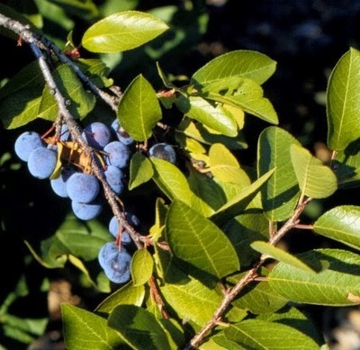 Beach Plum (Prunus maritima)
