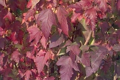 Cranberry Viburnum (Viburnum trilobum)