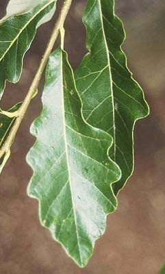 Swamp White Oak (Quercus bicolor)