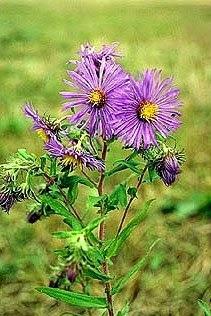 New York Aster (Symphyotrichum novi-belgii)