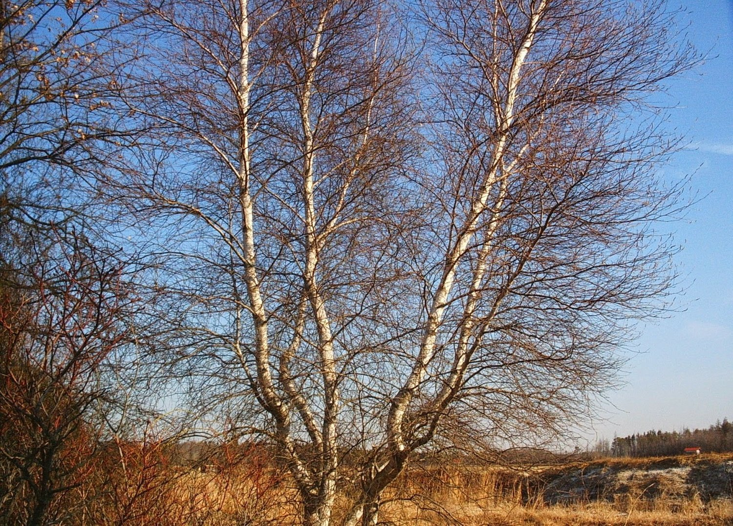 Gray Birch (Betula populifolia)