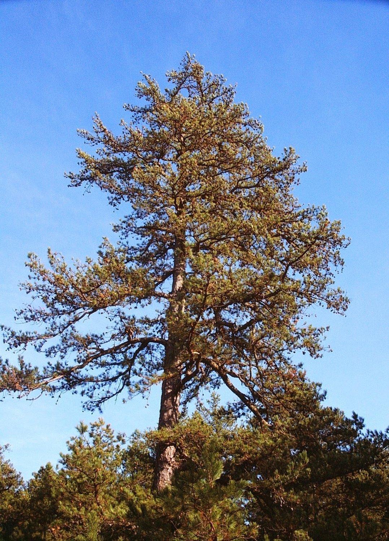 Short-leaf Pine