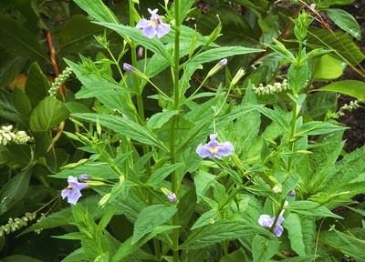 Monkey Flower (Mimulus ringens)