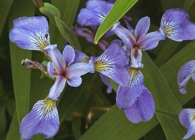 Blue-flag Iris (Iris versicolor)