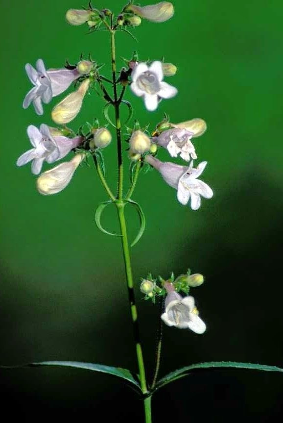 Foxglove Beardtongue (Penstemon digitalis)