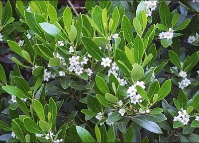 Inkberry Holly (Ilex glabra)