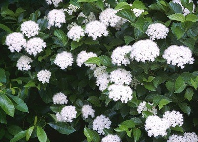 Arrowwood Viburnum (Viburnum dentatum)