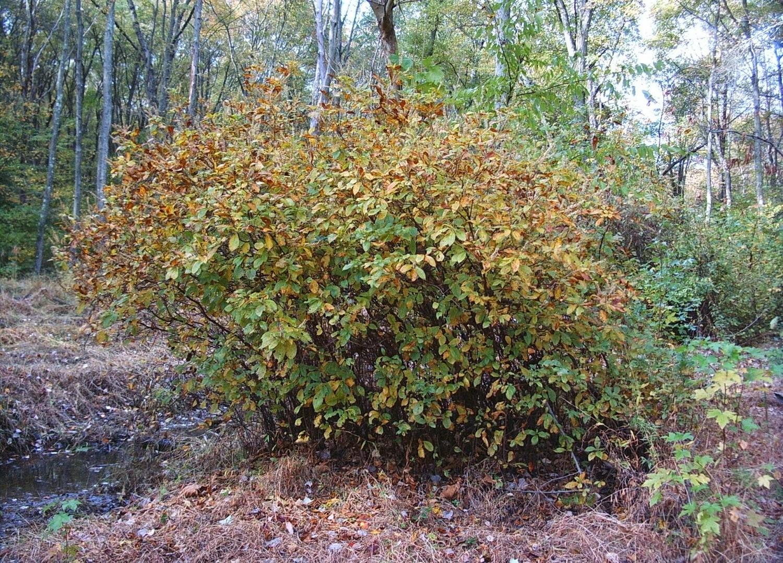 Sweet Pepperbush (Clethra alnifolia)