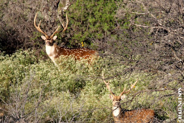 Parent/Child or Hunter/Spouse $2500 Whitetail or Exotic Hunt in the Texas Hill Country - 2 day 2 night all inclusive