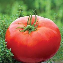Bush Champion Tomato Plant