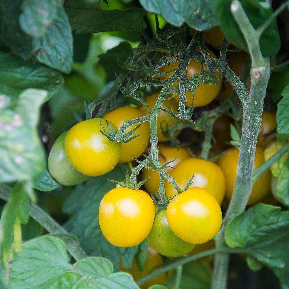 Esterina Tomato Plant