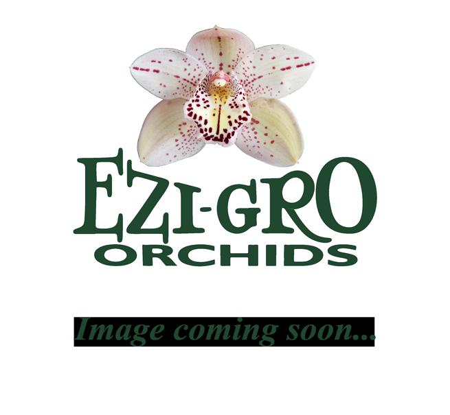 Cym tracyanum 'Creative' x Cym Christopher 'Orchid Magic'