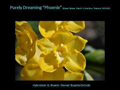 Cym Purely Dreaming 'Phoenix'