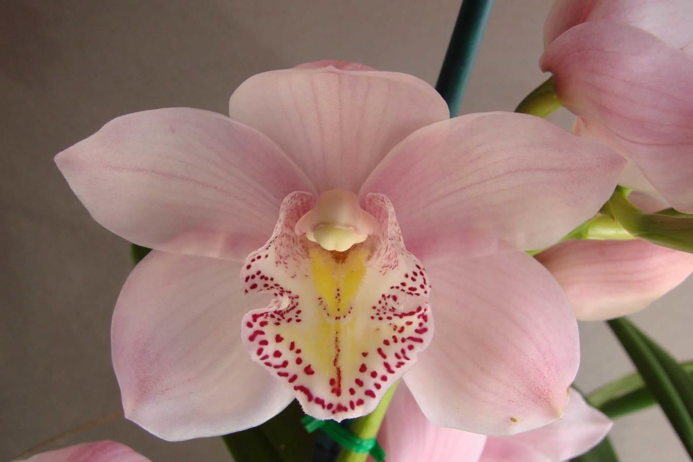 Cym Rosa Butti 'Pink Mist'