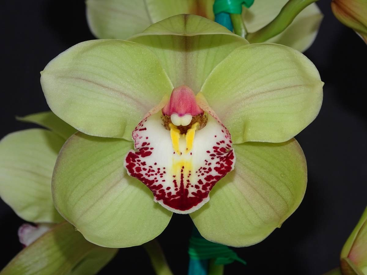 Cym Khan Flame 'Roberta' x Cym Lovely Angel 'Bubbles'