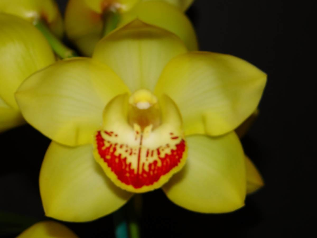 Cym Darch Winter 'Yellow Spring' x Cym Lunakira 'Buttercup'