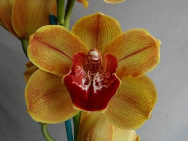Cym Hazel Fay 'Andy's Orange' x Cym (Justa Kiwi Girl x Alexandra Beauty) 'Ray's'