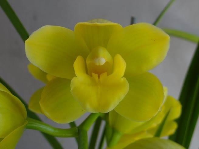 Cym Bellissimo 'Holly' x Cym Beau Guest 'Daffodil'