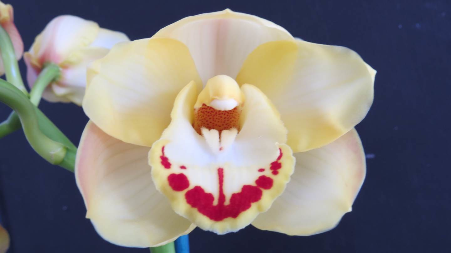 Cym Darch Yellow Belly 'Yellow Tulip' x Cym Darch Chevye 'Flat Cream'