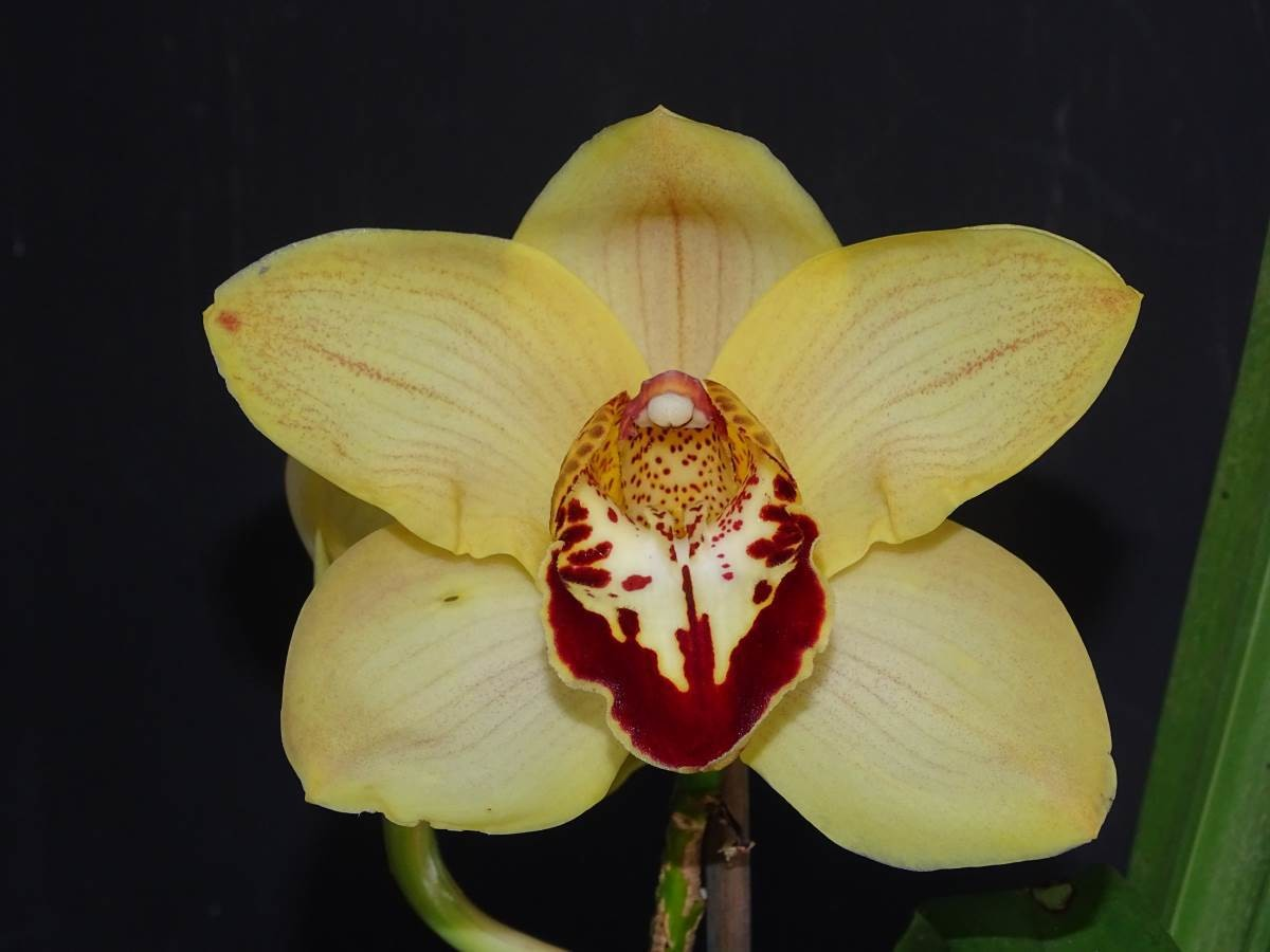 Cym Darch Yellow Belly 'Yellow Tulip' x Cym Cape Mahogany 'The Lion King'