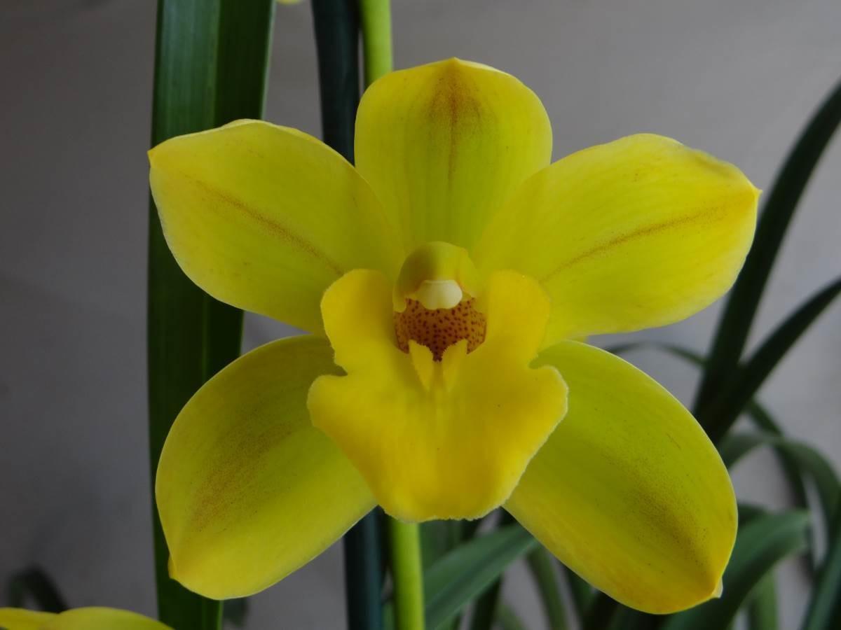 Cym Bellissimo 'Pure' x Cym Beau Guest 'Daffodil'