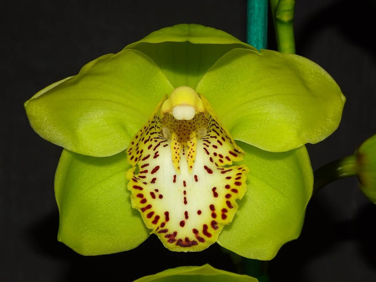 Cym (Lunar Glades x Advent Glow) 'Start Of Winter' x Cym Emerald Frenzy 'Ray's'