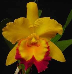 Rlc Shinfong Gold Gem 'Golden Jewel'