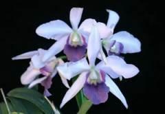 C Tahoe Rose 'G.C' (coerulea)