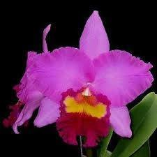 Rlc Taichung Beauty 'Rouge Cattle'