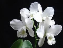 Ctt White Bridal 'Yuki'