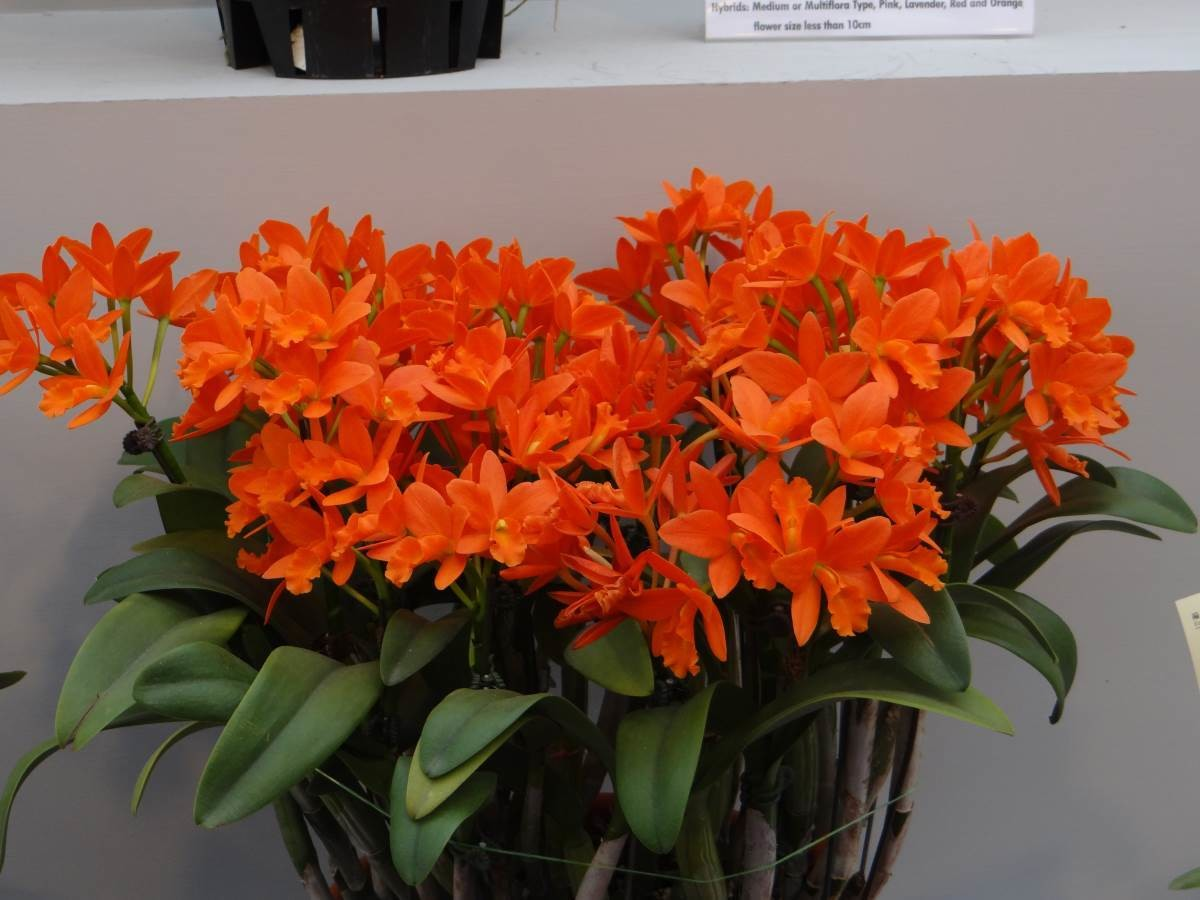 Rth Young Min Orange 'Golden Satisfaction' AM/AOS