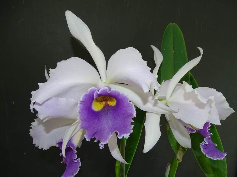 C C.G.Roebling 'Blue Magic' AM/AOS x C labiata var coerulea 'Select #2'