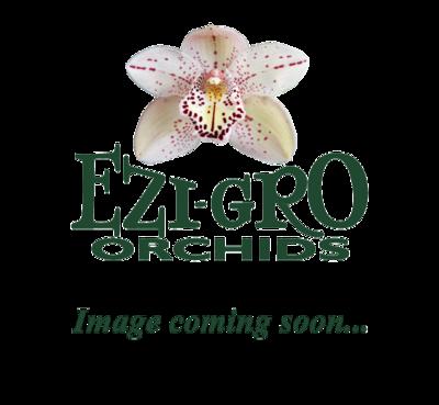 C Bright Angel '9616' x C Beaufort 'Orchid Centre' AM/AOC