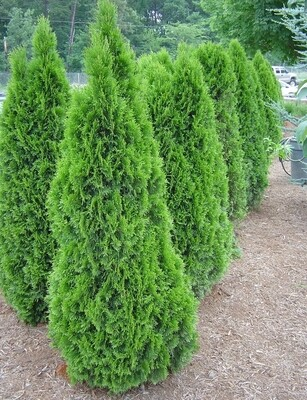 Emerald Green Arborvitae 5-6'