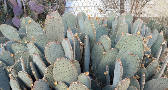 Beavertail Opuntia Cactus Cuttings