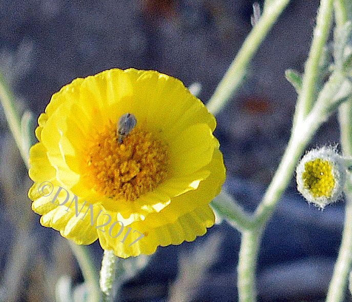 Desert Marigold 00014